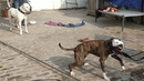 Highly Aggressive Pitbull Tiger vs Pakistani Bully,Bully Kutta Tiger
