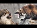 Росомаха против, волков, пумы, собак и даже медведя! РОСОМАХА В ДЕЛЕ !