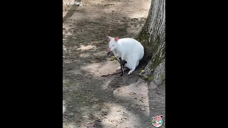 Just an adorable video of a rare white wallaby and its joey