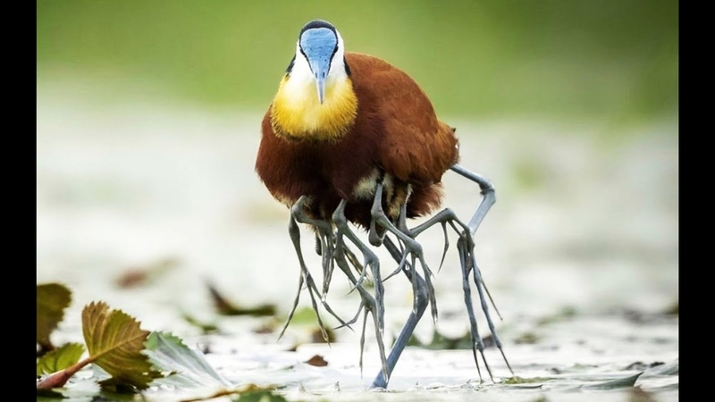 طائر الجاكان الأفريقي يحمي صغاره ويخفيهم 16