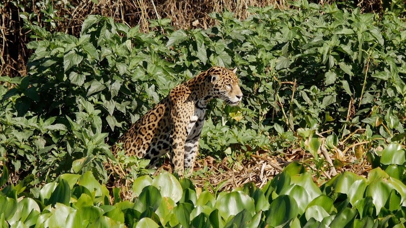 Brazil 2015 Wildlife of The Pantanal Part Two Porto Jofre and the Sao Lourenco River