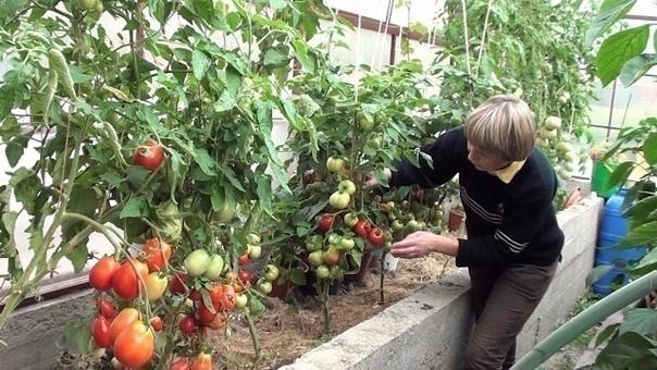 Как лучше выращивать самые вкусные помидоры в теплице Помидоры на приусадебных участках выращивают многие дачники и у каждого из них есть свои секреты, которые помогают им получать обильный