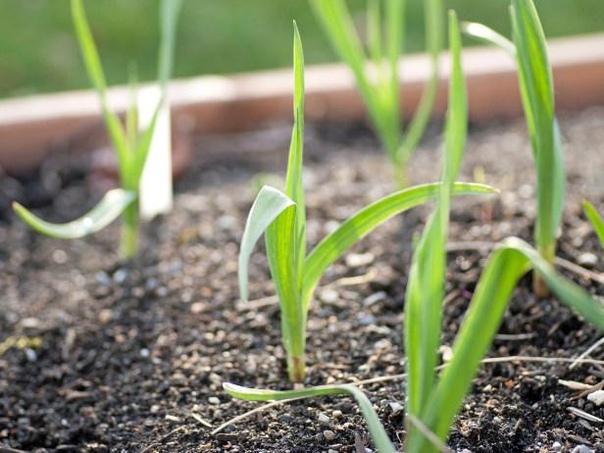 ЧЕМ ПОДКОРМИТЬ ЧЕСНОК ВЕСНОЙ, ЧТОБЫ БЫЛ КРУПНЫМ И НЕ ЖЕЛТЕЛ Сохраните, чтобы не потерять!Для чего весной чесноку подкормкаЧтобы получить крупные луковицы, размером с кулак, необходимо:осенью при