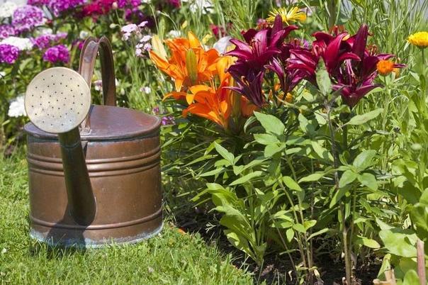 Подкормка лилий весной