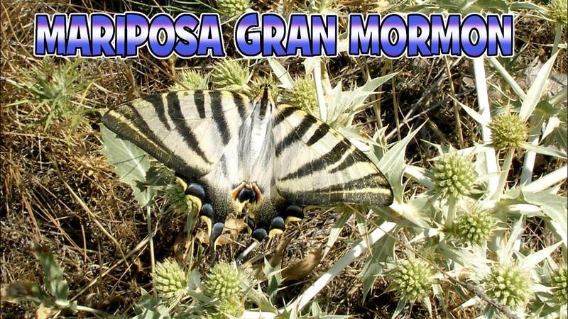Gran Mormón Mariposa Gran Mormón Iphiclides Podalirio la mariposa más grande de España