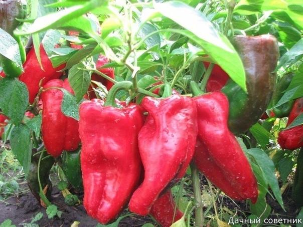 10 ошибок, которые могут лишить Вас большого урожая сладкого перца 1.Слишком быстроТоропиться с посадкой нельзя. Высадив растения в открытый грунт до того как температура воздуха достигнет