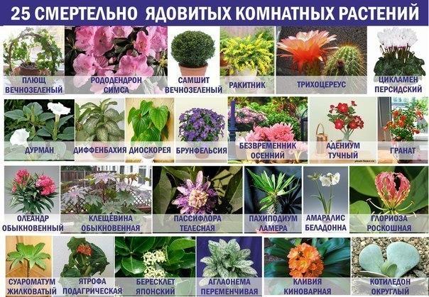 25 смертельно ядовитых комнатных растений!