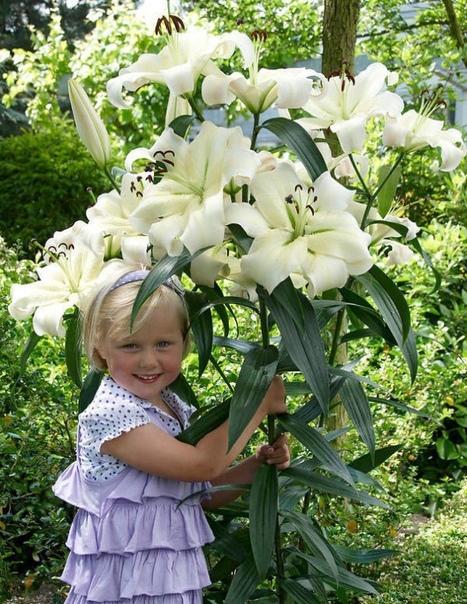 Удивительная лилия! (источник: gofazenda)