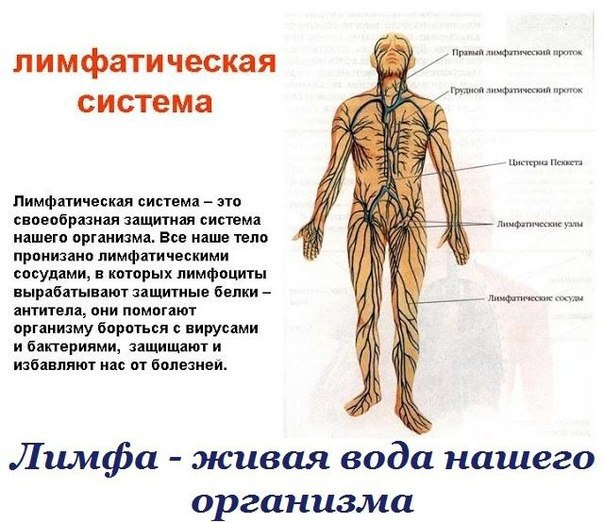 Лимфа живая вода нашего организма Лимфатическая система одна из самых сложных и хитро устроенных систем человека. Это система вывода ядов из организма, особенно бактериальных и