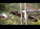 Северный братишка медоеда - РОСОМАХА В ДЕЛЕ! Росомаха против собак, волков, пумы