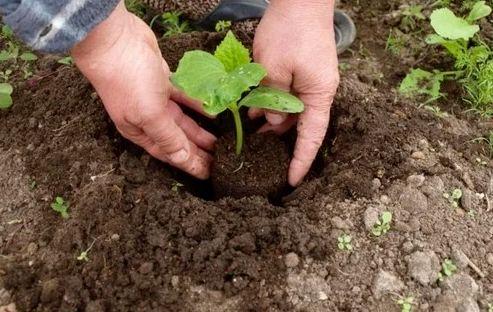 """Как я делаю """"долгоиграющее удобрение"""" для огурцов, и что можно положить в лунку при их посадке"""