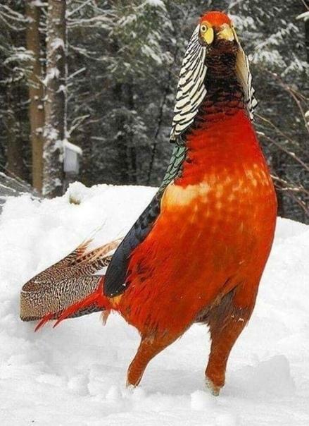 Какой красавчик  Королевский фазан