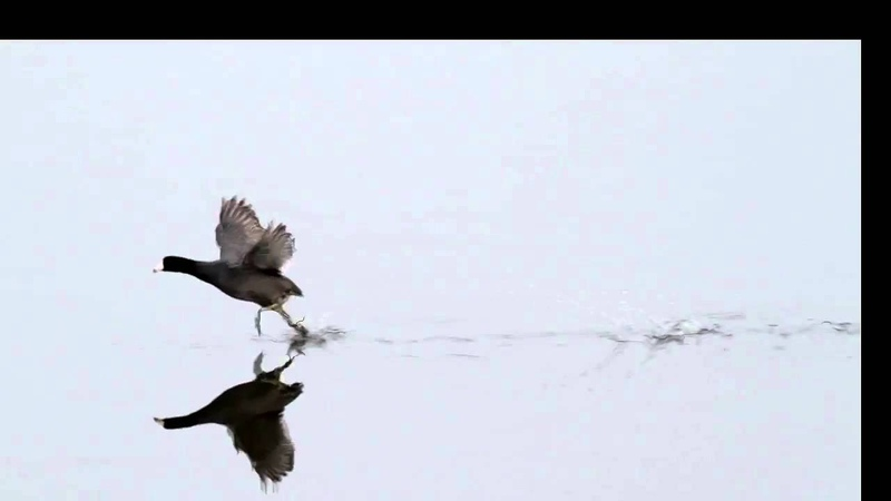 American coot running on water slow motion