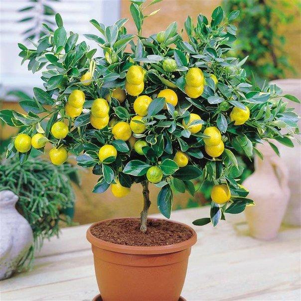 Как вырастить лимон из косточки Лимон уже давно не воспринимается как экзотический фрукт его можно купить в любом магазине. Но всё же есть мнение, что плоды лимона растут исключительно в
