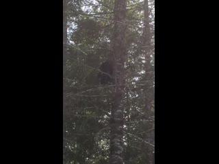 How fast a bear can climb a tree! (720p)