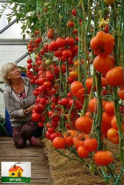 Агротехника выращивания томатов ОТ и ДО.    ==ПОСЕВ*Высокоросы сею в плошки в конце февраля, полудетерминанты и деты - 9-10 марта с