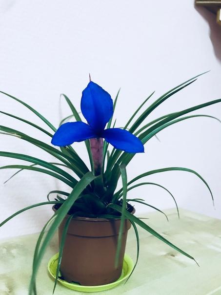 У этого цветочка длинное и труднозапоминаемое название, но это даёт ещё больше шарма Не так давно был подарен данный цветочек, который мне, при первой нашей встрече, не приглянулся. Он похож на