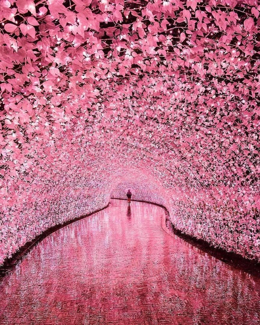 Туннель сaкуры в Японии