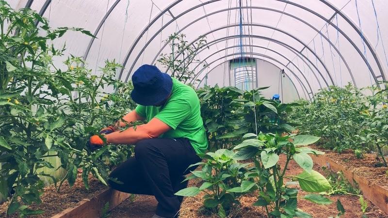Как удалять пасынки на томатах в теплице, мой способ. Формирование помидоров, перцев и баклажанов