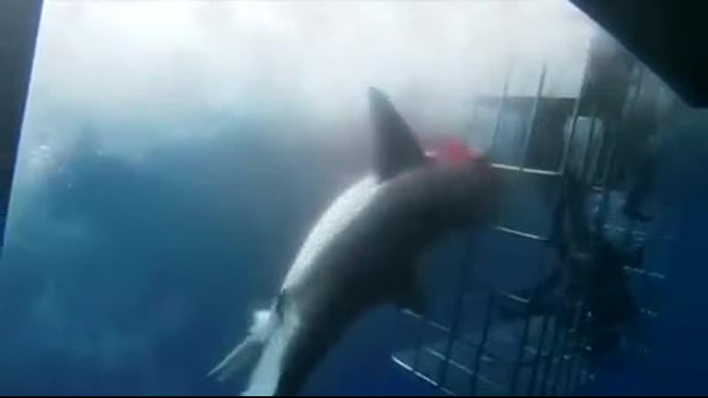 Водолазы и акула