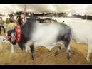 Qurbani Ka janwar Bulls Bulls Farming Bakra Eid Zoo Network