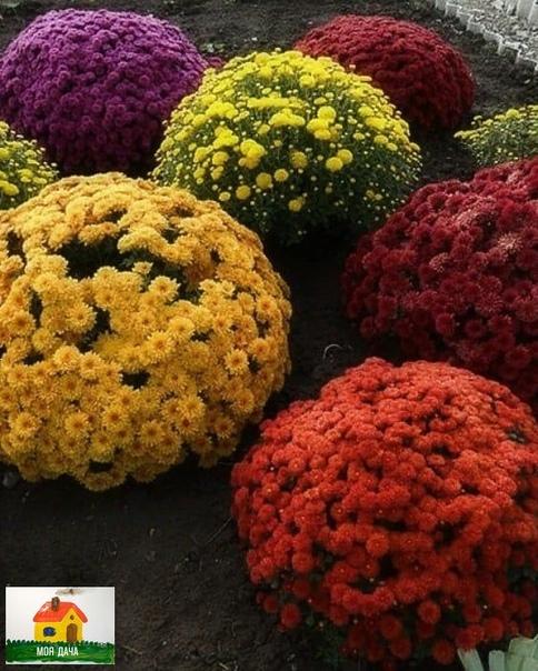 Хризантема мультифлора в форме шара - красота какая  ход за хризантемой.