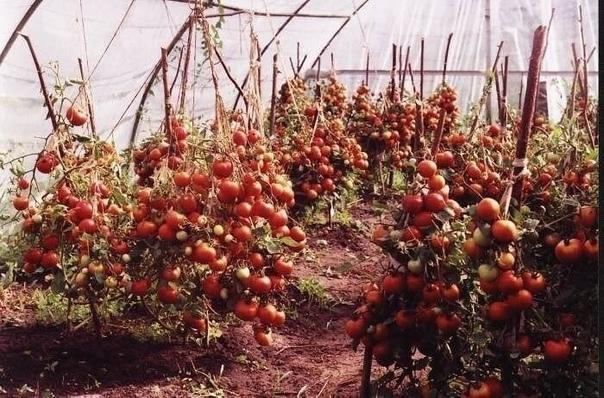 С ЭТИМИ СОВЕТАМИ У ВАС ТОЧНО БУДЕТ ОТЛИЧНЫЙ УРОЖАЙ ТОМАТОВ! Обязательно сохраняйте себе!МОИ СЕКРЕТЫ:Люблю высокорослые сорта томатов.Я сажаю по 2 растения, выравнивая верхушки, соединив стебли