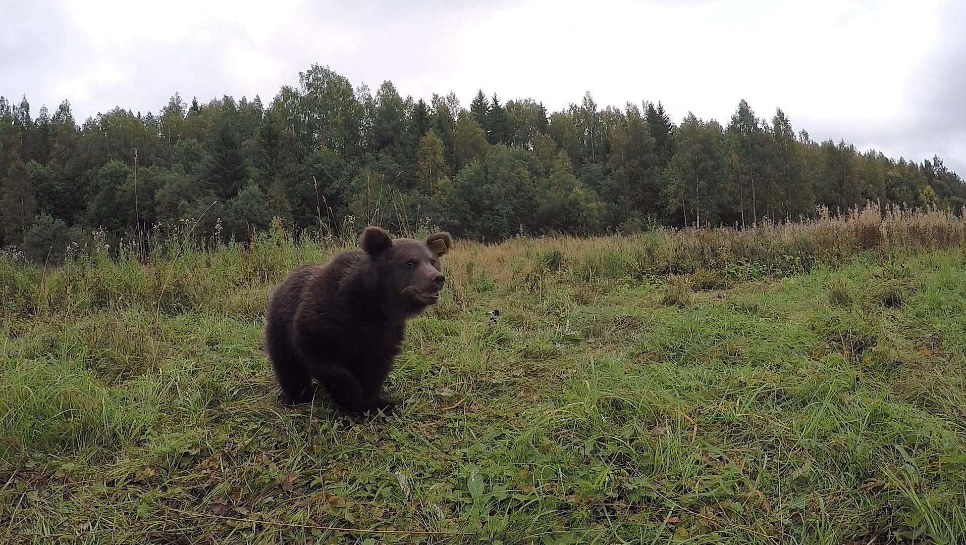"""В Тверской области продолжаются """"выпускные"""" медвежат-сирот"""