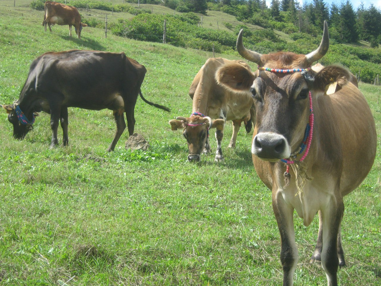 коровы в Турции украшены бусами