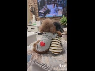 Ваша собака тоже любит смотреть телевизор