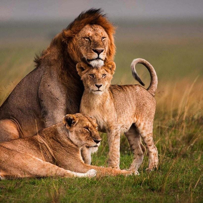 Король Лев!