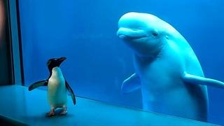 Кит Впервые Увидел Пингвина - Смотрите, Что Произошло Дальше