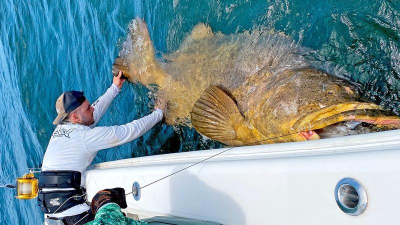 MASSIVE 500lb Goliath Grouper!!