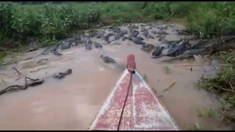Jacarés no Pantanal de Mato Grosso Aligators in Brazil Pantanal