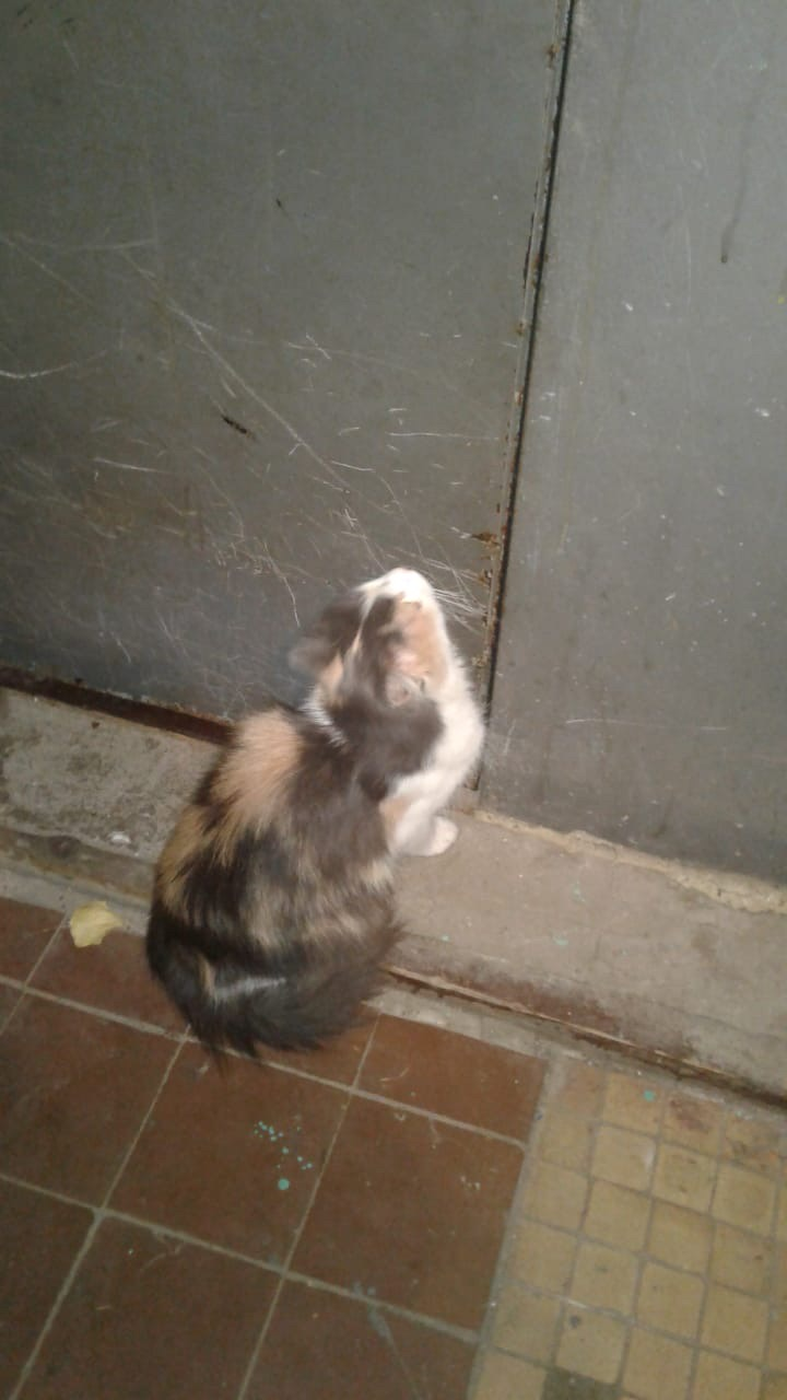 Найдена Кошка, видно что была домашней, на