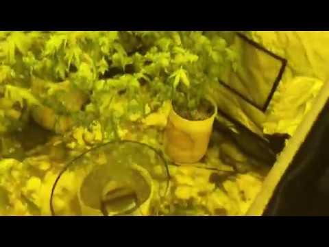 Новокузнечанин выращивал в квартире коноплю